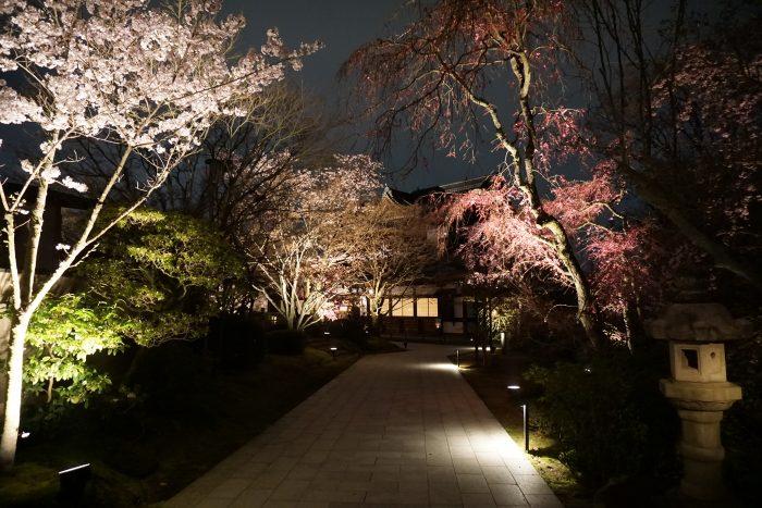 京都さくらライトアップ